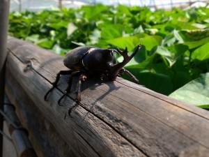 虫の王様『カブトムシ』